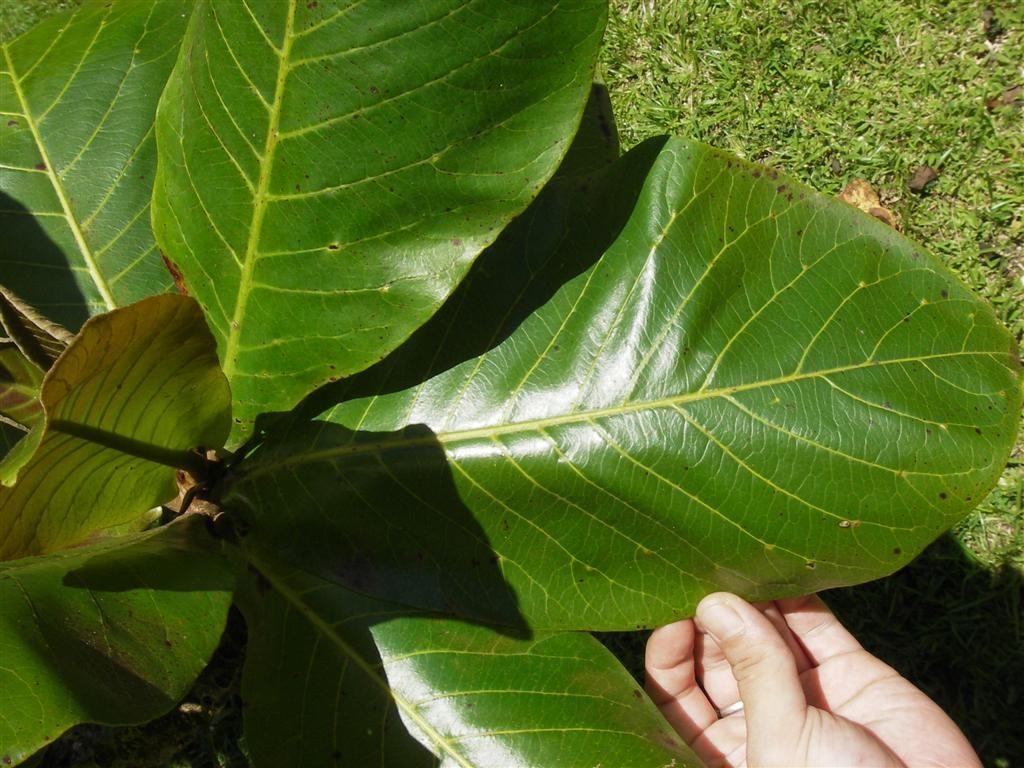 Les feuilles de catappa - Fruit de l amandier ...